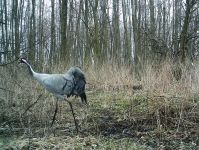 Dorosły żuraw - zdjęcie z fotopułapki